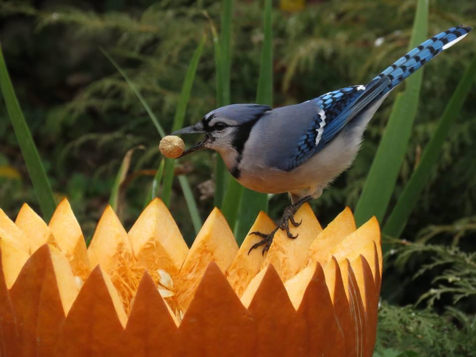 blue-jay-pumpkin