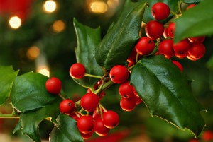 v8-close-up-of-holly-and-berries-113703259