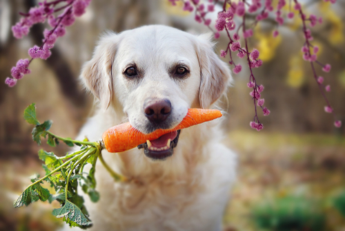 Dog eating vegetable